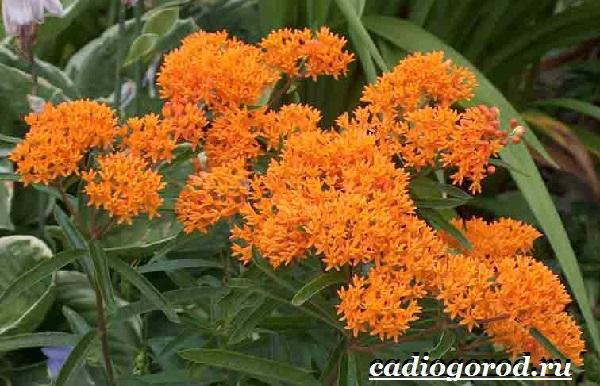 Ваточник-цветок-Описание-особенности-уход-и-виды-ваточника-2