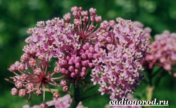 Ваточник-цветок-Описание-особенности-уход-и-виды-ваточника-4