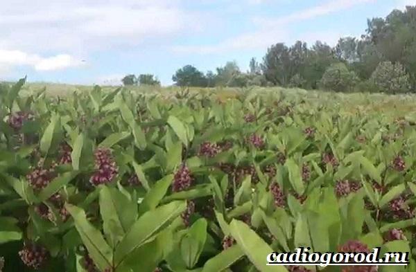 Ваточник-цветок-Описание-особенности-уход-и-виды-ваточника-9