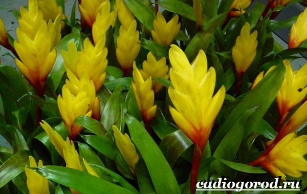 Вриезия-цветок-Описание-особенности-виды-и-уход-за-вриезией-11