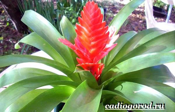 Вриезия-цветок-Описание-особенности-виды-и-уход-за-вриезией-14
