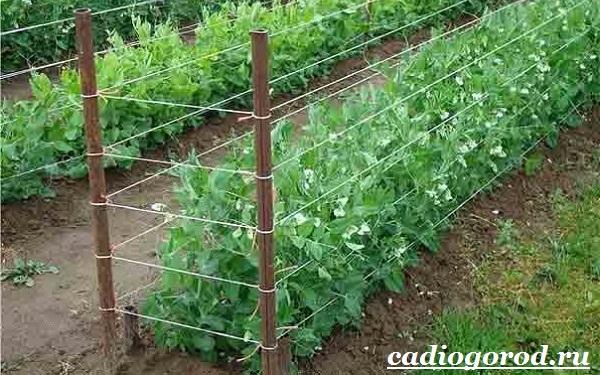 Выращивание-гороха-Как-и-когда-сажать-горох-Уход-за-горохом-15