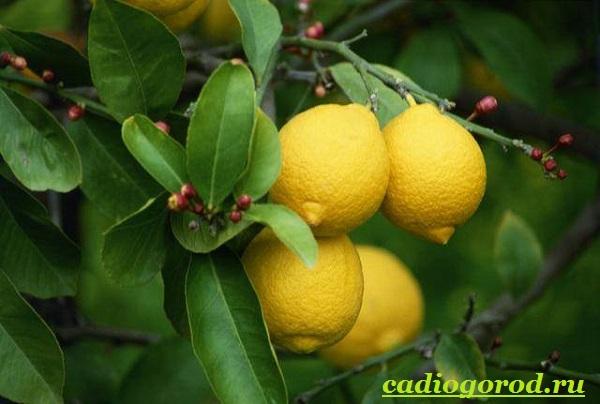 Выращивание-лимона-Как-вырастить-лимон-в-домашних-условиях-Уход-за-лимоном-18