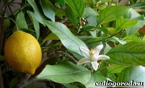Выращивание-лимона-Как-вырастить-лимон-в-домашних-условиях-Уход-за-лимоном-6