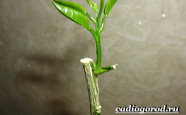 Выращивание-лимона-Как-вырастить-лимон-в-домашних-условиях-Уход-за-лимоном-9