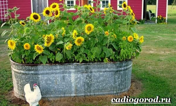 Выращивание-подсолнечника-Как-и-когда-сажать-подсолнечник-Уход-за-подсолнечником-30