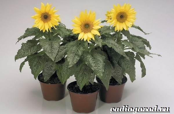 Выращивание-подсолнечника-Как-и-когда-сажать-подсолнечник-Уход-за-подсолнечником-31