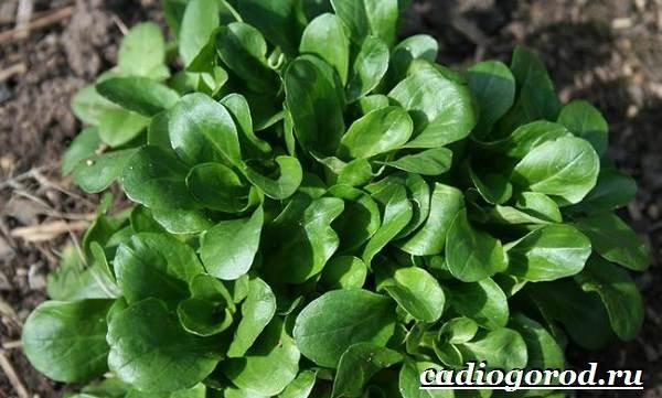 Выращивание-салата-Как-и-когда-сажать-салат-Уход-за-салатом-16-1