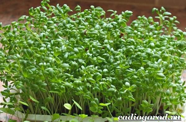 Выращивание-салата-Как-и-когда-сажать-салат-Уход-за-салатом-19-1