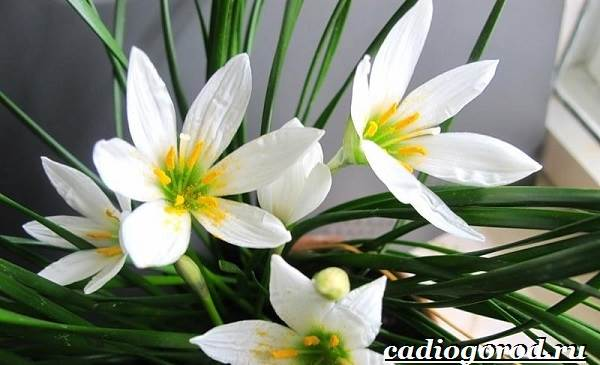 Выскочка-цветок-Выращивание-выскочки-Уход-за-выскочкой-6