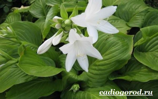 Хоста-цветок-Выращивание-хосты-Уход-за-хостой-1