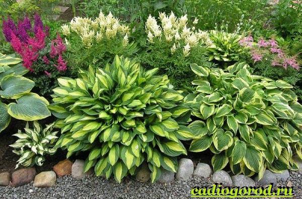 Хоста-цветок-Выращивание-хосты-Уход-за-хостой-14