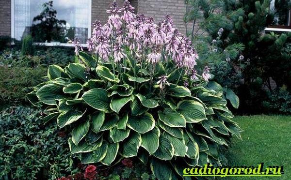 Хоста-цветок-Выращивание-хосты-Уход-за-хостой-15