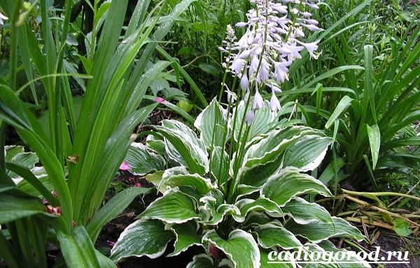Хоста-цветок-Выращивание-хосты-Уход-за-хостой-3