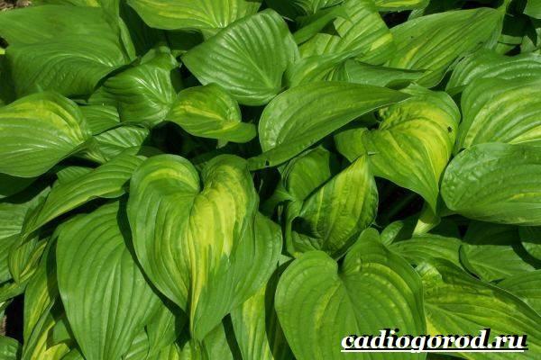 Хоста-цветок-Выращивание-хосты-Уход-за-хостой-8