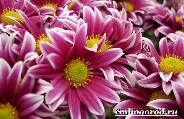Хризантемы-цветы-Описание-особенности-виды-и-уход-за-хризантемами-12