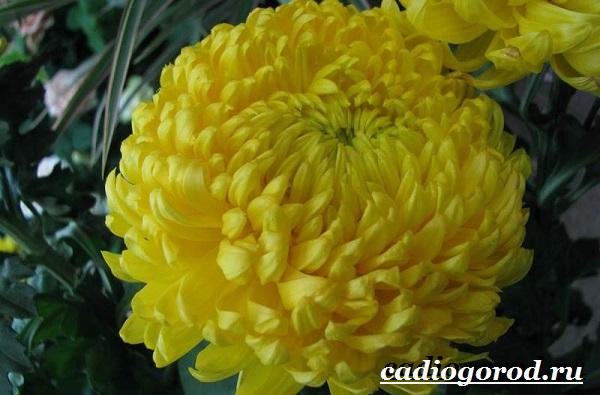 Хризантемы-цветы-Описание-особенности-виды-и-уход-за-хризантемами-2