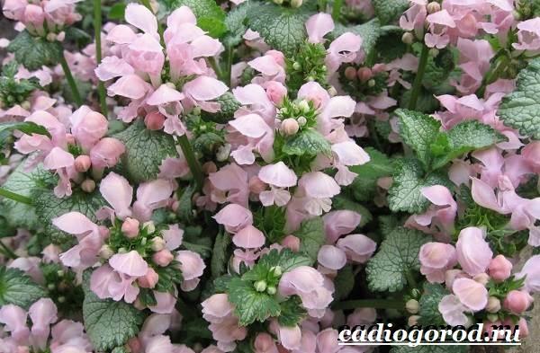 yasnotka-cvetok-opisanie-osobennosti-vidy-i-uxod-za-yasnotkoj-5.jpg