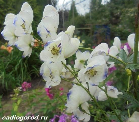Аконит-растение-Описание-особенности-виды-и-уход-за-аканитом-5
