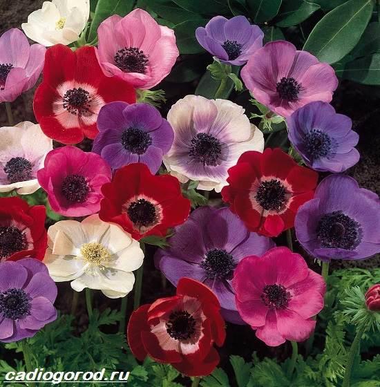 Анемоны-цветы-Описание-особенности-виды-и-уход-за-анемонами-11