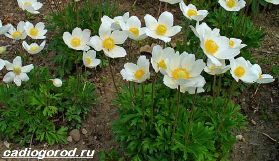 Анемоны-цветы-Описание-особенности-виды-и-уход-за-анемонами-4
