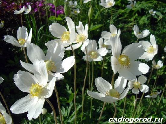 Анемоны-цветы-Описание-особенности-виды-и-уход-за-анемонами-5