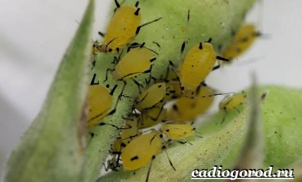 Анютины-глазки-цветы-Описание-особенности-виды-и-уход-за-анютиными-глазками-24
