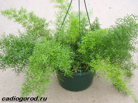 Аспарагус-цветок-Описание-особенности-виды-и-уход-за-аспарагусом-4