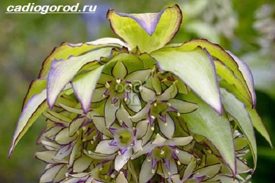 Эукомис-цветок-Описание-особенности-виды-и-уход-эукомиса-3