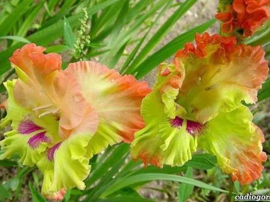 Гладиолус-цветок-Описание-особенности-виды-и-уход-за-гладиолусами-9