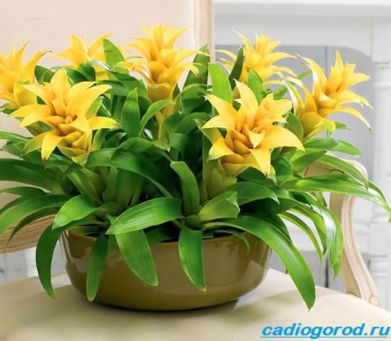 Гузмания-цветок-Описание-особенности-виды-и-уход-за-гузманией-1