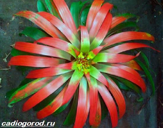 Гузмания-цветок-Описание-особенности-виды-и-уход-за-гузманией-4