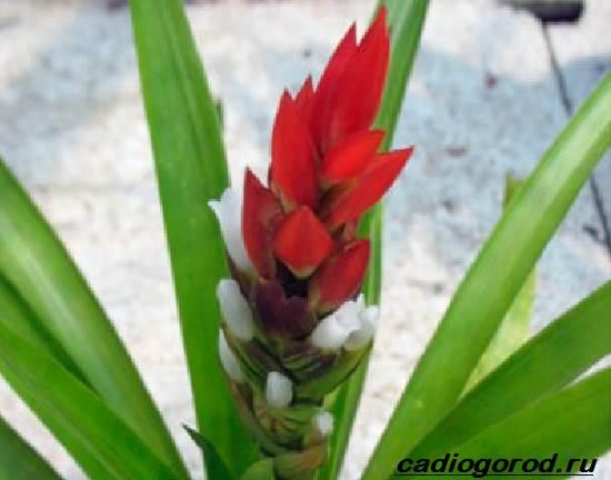 Гузмания-цветок-Описание-особенности-виды-и-уход-за-гузманией-6