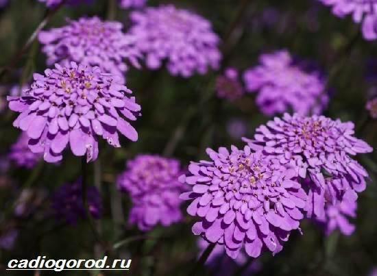 Иберис-цветок-Описание-особенности-виды-и-уход-за-иберисом-3