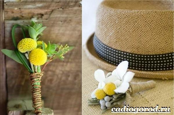 Краспедия цветок. Описание, особенности, виды и уход за краспедией-5
