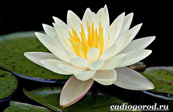 Кувшинка-белая-цветок-Описание-особенности-и-свойства-белой-кувшинки-4