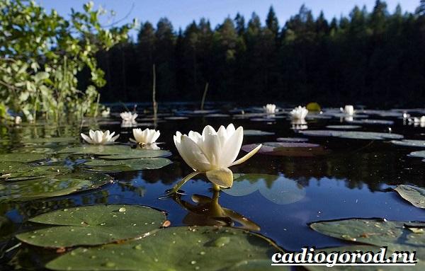 Кувшинка-белая-цветок-Описание-особенности-и-свойства-белой-кувшинки-6