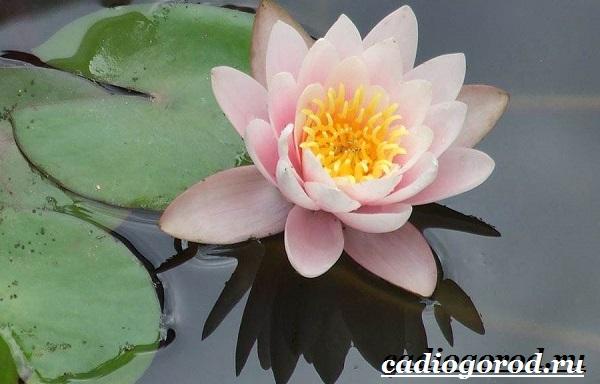 Кувшинка белая цветок. Описание, особенности и свойства белой кувшинки