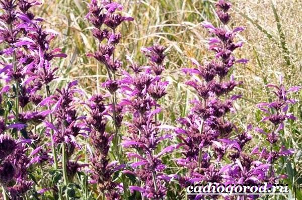 Лофант-трава-Описание-свойства-виды-и-уход-за-лофантом-11