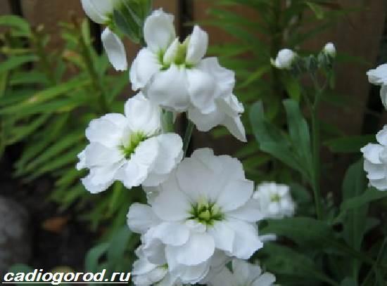 Маттиола-цветок-Описание-особенности-виды-и-уход-за-маттиолой-15