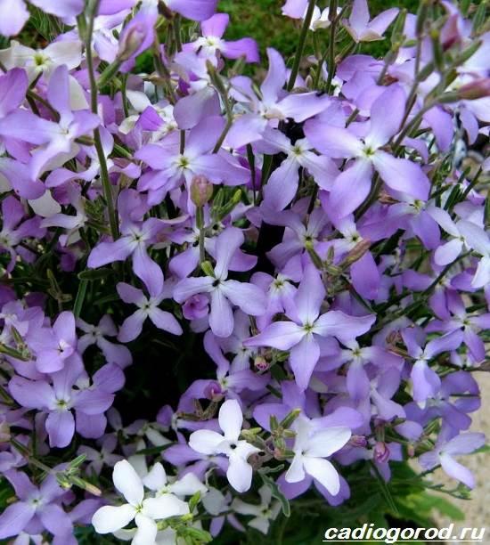 Маттиола-цветок-Описание-особенности-виды-и-уход-за-маттиолой-17