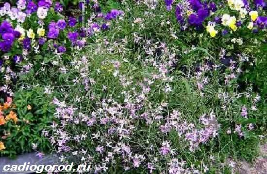 Маттиола-цветок-Описание-особенности-виды-и-уход-за-маттиолой-19