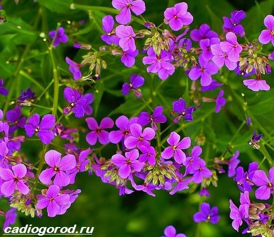 Маттиола-цветок-Описание-особенности-виды-и-уход-за-маттиолой-21