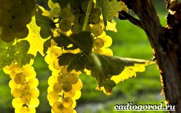 Размножение-винограда-черенками-16