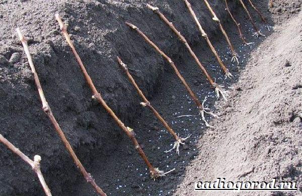 Размножение-винограда-черенками-7