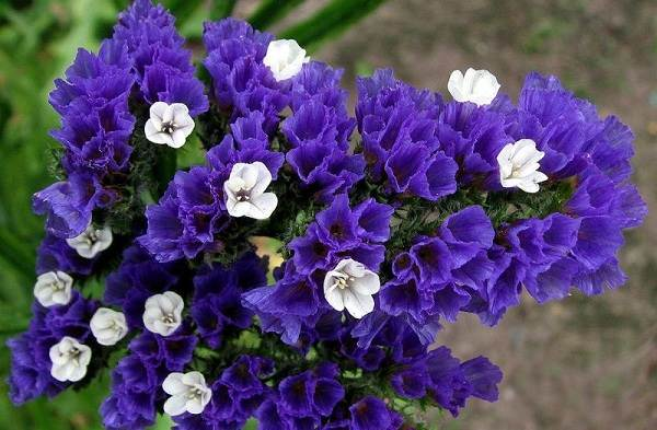 Статица-цветок-Описание-особенности-виды-и-уход-за-статицей-18