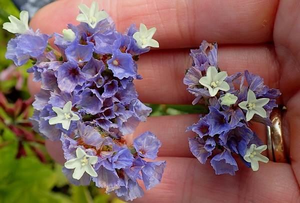Статица-цветок-Описание-особенности-виды-и-уход-за-статицей-19