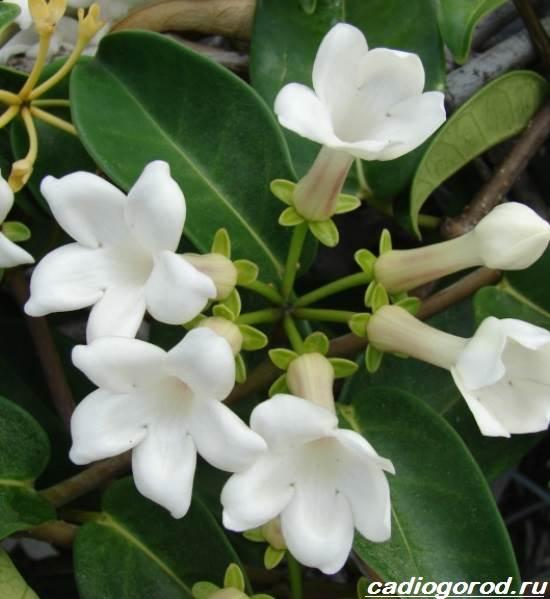 Стефанотис-цветок-Описание-особенности-виды-и-уход-за-стефанотисом-2