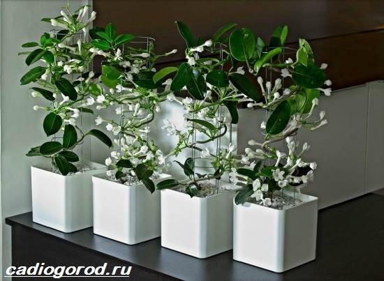 Стефанотис-цветок-Описание-особенности-виды-и-уход-за-стефанотисом-3