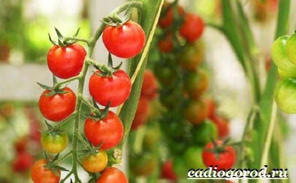Томаты черри. Описание, особенности, выращивание и сорта томатов черри-5